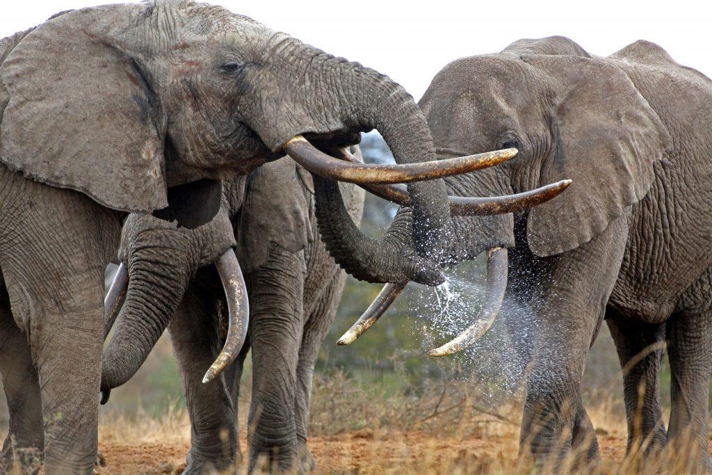 African safari, elephant