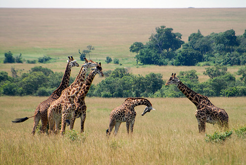 Breaking the code on giraffe genetics