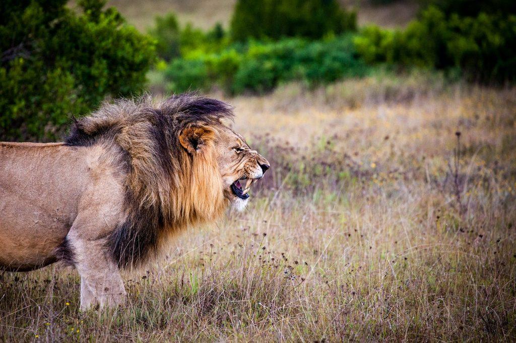 African safari, lion