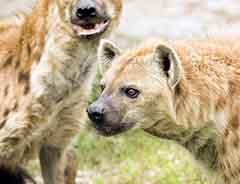 African safari, hyena